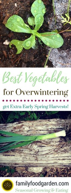 There are many great vegetables for overwintering for early spring harvests! See the full list of vegetables such as kale for overwintering in zone 5 Healthy Fruits And Vegetables, List Of Vegetables, Winter Vegetables, Growing Vegetables, Veggies, Garden Insects, Garden Pests, Garden Hose, Texas Gardening