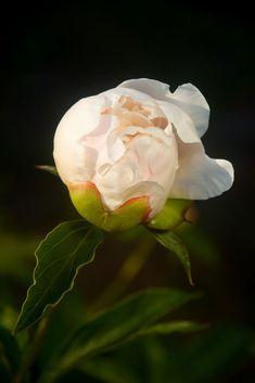 Silkepion - en nydelig romantisk staude.