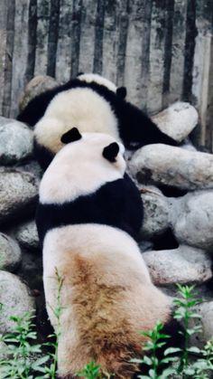 More pandas.