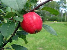 Malus Norland, sommaräpple. Nytt sommaräpple i vårt sortiment. Avlånga mörkröda frukter. Syrlig, men aromrik smak. Rikbärande, blir tidigt skördemoget. Mycket härdig sort.