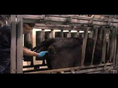 ▶ HOW TO PLACE A CIDR DEVICE IN A COW - YouTube