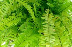 How to winterize Boston ferns