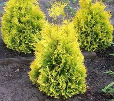 Sunkist Arborvitae Thuja occidentalis 'Sunkist' Very bright golden tips. Semi-dwarf, broad, globe-shaped or oval pyramid shape form. Compact growth habit. Bright yellow foliage turns dark yellow to or