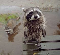 This dude who is super cute even after he rolls in the mud. | 21 Raccoons Who Will Show You What It Means To Be Cute