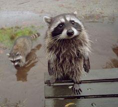 Ce raton laveur super mignon même après s'être roulé dans la boue. | 21 ratons laveurs adorables qui égayeront votre journée