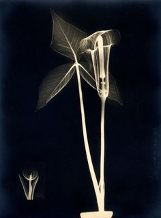 Jack in the Pulpit X-ray