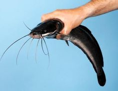 Cleaning a catfish by yourself