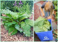 How to Pick Rhubarb Leaf Instruction-DIY Big Rhubarb Leaf Garden Projects