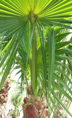 Mexican Fan Palm   Washingtonia robusta   Most common fan palm. Very fast growing to 80 feet or more; hardy to 20 degrees. Takes poor soil and drought. Once established, water deeply and infrequently. Fertilize with palm food 2-3 times from May-Sept. Prune fronds only when completely brown.