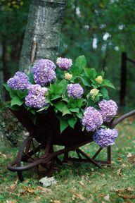Praktisch! #hortensie #pflanzenfreude #pflanze #garten #bepflanzen