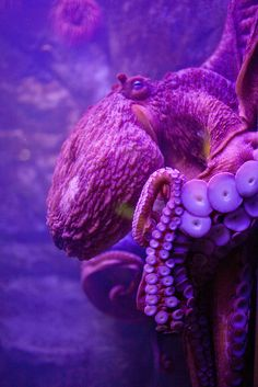octopus by Ashley M Giffin on Flickr