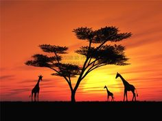 African Sunset Stock Photo, Picture And Royalty Free Image. Africa Painting, Giraffe Painting, Moon Painting, Painting Art, Watercolor Paintings, Sunset Silhouette, Silhouette Painting, Silhouette Clip Art, Sunset Art