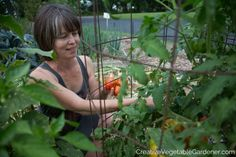 """Tomato Pruning harvesting tomatoes after pruning the plants - """"Prune indeterminate tomatoes"""" should be on your garden to-do list this year for plants with less disease, easier access, earlier harvests, and more fruit. Tips For Growing Tomatoes, Growing Tomatoes In Containers, Grow Tomatoes, Dried Tomatoes, Baby Tomatoes, Growing Herbs, Cherry Tomatoes, Organic Gardening, Gardening Tips"""