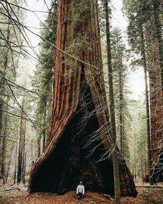 A árvore coração, Parque Nacional das sequoias, Califórnia.
