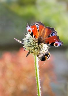 peacock butterfly with bee