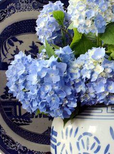Blue hydrangeas ~
