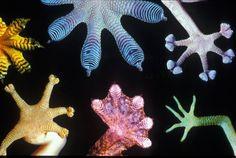 Pattes de différentes espèces de geckos   Patas de varias especies de gecos   Feet of different gecko species