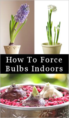 how-to for tulips, hyacinth, daffodils, crocus, iris, and paperwhites