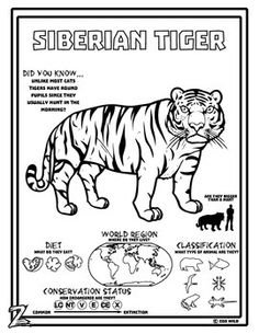 siberian tiger 10 resources coloring pages reading activities