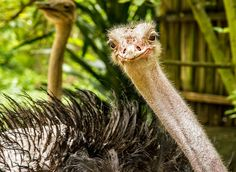 Thanks for the smile Mr. Ostrich! (and for not pecking at my camera instead) http://ift.tt/2jTfV11