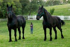 Two beautiful Percheron horses.