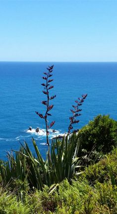 Yes. #NewZealand really is this beautiful. Flax plants (phormium tenax) grow wild on both islands and bloom in summer, which is December - February. I grabbed this shot when I stopped to admire the view of the West Coast after crossing the Haast Pass from Wanaka. Just feeling so grateful to be here... @airnewzealand @purenewzealand