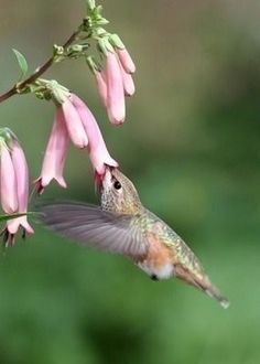 HUMMING GETTING NECTAR FROM PINK FLOWERS
