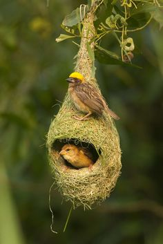 The Baya Weaver, photo by K S Kong on Getty Images