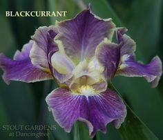"EM   IB  25""  IRIS BLACKCURRANT | Stout Gardens at Dancingtree"