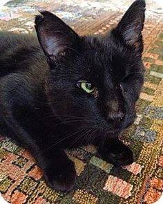Looking for love ❤️Domestic Shorthair Cat for adoption in New York, New York - Balor aka Zingger