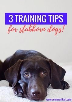 3 Training Tips For Stubborn Dogs - Three tips that have worked for training my slightly stubborn Chocolate Labrador, Bill! - Pet Training Tips - Puppy Training - Puppy Training Tips - Communikait by Kait Hanson