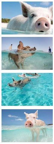 Swimming Pigs of Exhuma in the Bahamas- saw this story in Coastal Living! Exuma Bahamas, Bahamas Vacation, Nassau, Vacation Spots, Swimming Pigs Exuma, Animals Beautiful, Cute Animals, Pig Island, Pig Beach