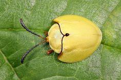 Paraselenis (Spaethiechoma) flava (fusquinha) by Beetles in the Bush, via Flickr