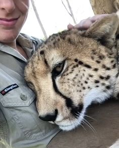 We need to save the Cheetahs! - We must save these beautiful cats. We must save these beautiful cats. We must save these beautiful - Funny Animal Videos, Cute Funny Animals, Cute Baby Animals, Animals And Pets, Cute Cats, Wild Animals, Funny Cats, Beautiful Cats, Animals Beautiful