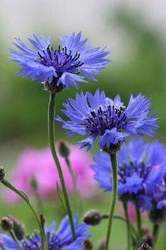 Blue Cornflower  ~Centaurea cyanus. #art #illustration #flowers #wildflowers #botanical #reference #inspiration