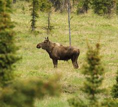 Moose, just in case yer Moose ID impaired! | We stopped alon… | Flickr