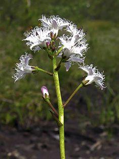 Raate, Menyanthes trifoliata - Kukkakasvit - LuontoPortti Wild Flowers, Flora, Herbs, Plants, Forest Flowers, Perennials, Perennial Herbs, Flowers, Nature