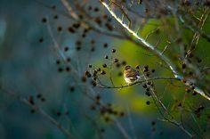 Spring Sparrow - Light - season - bird - Prints - Shelby Young Photography - Nikon