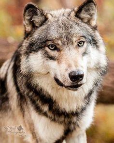beautiful-wildlife:  Gray Wolf Portraitby oldwolfphotography
