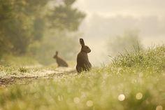 Irish Hare   Flickr - Photo Sharing!