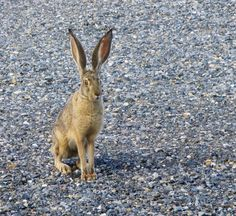 Jack rabbit posing for me outside our cabin window