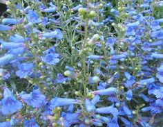 """Perennial Penstemon, low-growing producing multiple spikes of impressive electric blue flowers that are tinged with pink before opening fully. Flowers June-September. Height 45cm (18""""). Perfect for Middle of border. 