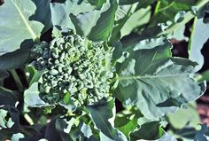 what to plant now for a fall vegetable garden