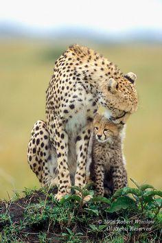 Mother and Baby Cheetahs, Masai Mara National Reserve, Kenya