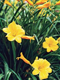 'Stella de Oro' Yellow Daylilies - Any kind of yellow/orange daylilies ..