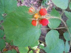 Foraging Wineberries