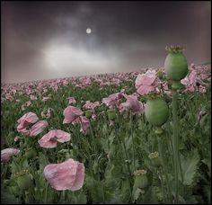rosa... von Veronika Pinke