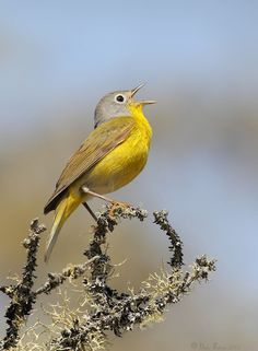 Nashville Warbler, closely related to the Virginia's Warbler, Lucy's Warbler and Colima Warbler