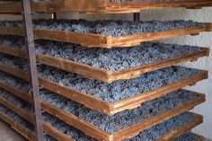 Grapes drying on shelves for amarone during appassimento