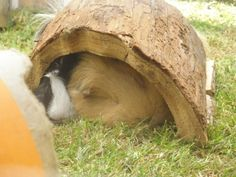 What Life Would Be Like… If Guinea Pigs Ran the World